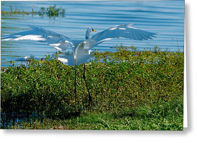 Water Fowl Greeting Cards - Great Egret Landing 2 Greeting Card by Roy Williams