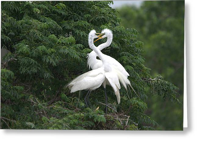 Water Fowl Greeting Cards - Great Egret Love Birds Greeting Card by Roy Williams