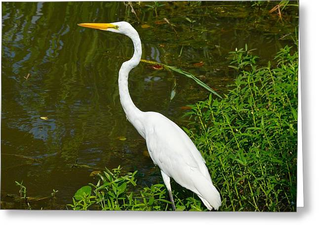Pelicaniformes Greeting Cards - Great Egret of Louisiana Greeting Card by D S Images