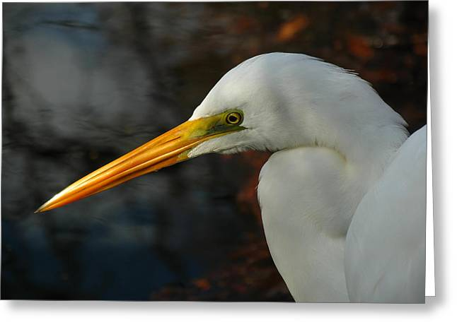 South West Florida Greeting Cards - Great Egret Portrait Greeting Card by Juergen Roth