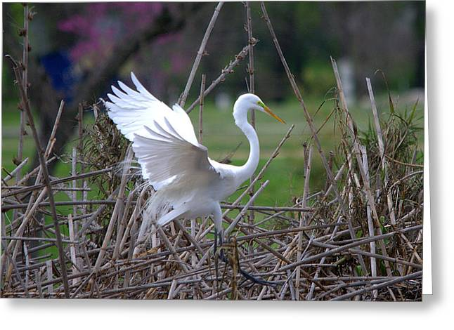 Hunting Bird Greeting Cards - Great Egret Prepared For Landing Greeting Card by Roy Williams