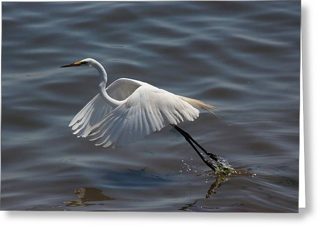 Shorebird Greeting Cards - Great Egret taking flight Greeting Card by Joe Valencia
