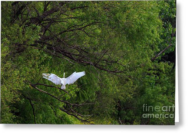 Flying Animal Greeting Cards - Great Egrets in the Shore Greeting Card by Richard Smith