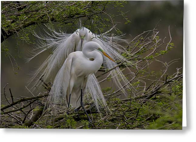 Wadingbird Greeting Cards - Great Egrets Greeting Card by Mary Ellen Urbanski