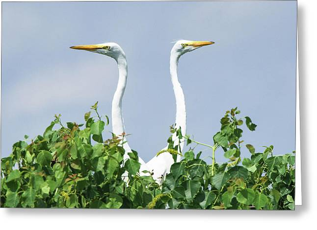Great Egrets On The Lookout Greeting Card by Ellie Teramoto