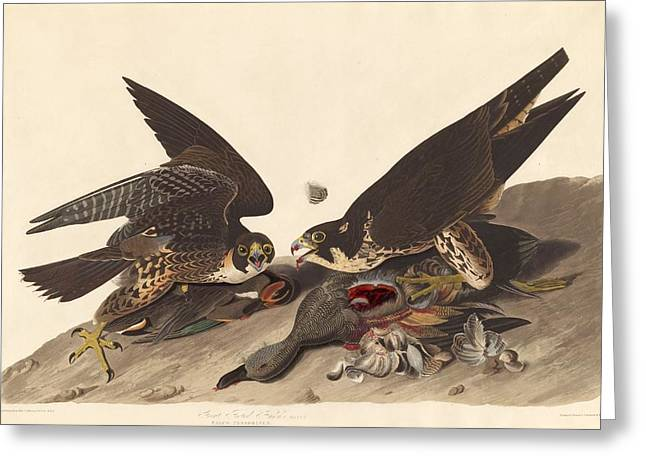 Great Footed Hawk Greeting Card by John James Audubon