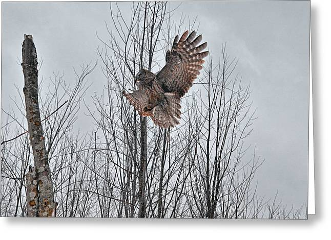 Hunting Bird Greeting Cards - Great Gray Owl landing on a tree Greeting Card by Asbed Iskedjian