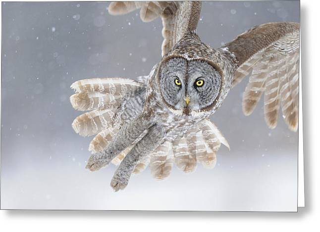 Owl Photographs Greeting Cards - Great Grey Owl in Snowstorm Greeting Card by Scott  Linstead