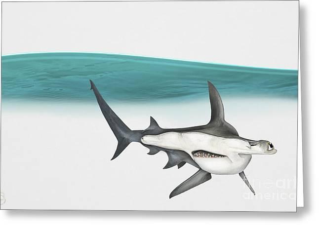 Nature Study Drawings Greeting Cards - Great Hammerhead Sphyrna mokarran - Squat-headed Hammerhead Shark - Grand Requin-marteau - Cornuda Greeting Card by Urft Valley Art