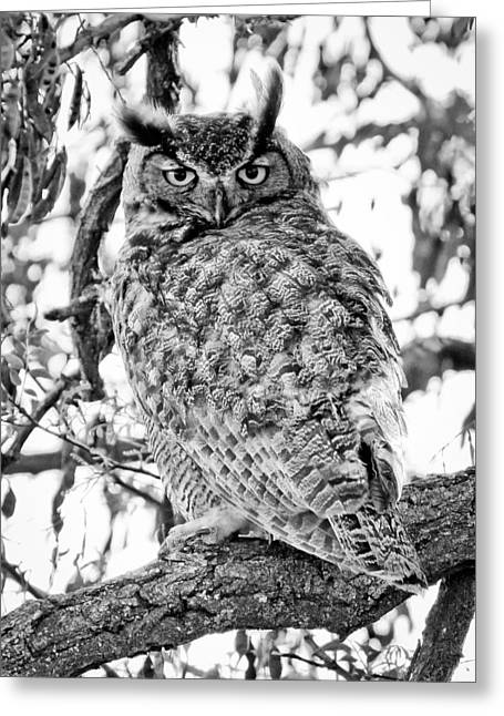 Flying Animal Greeting Cards - Great Horned Owl BW Greeting Card by Athena Mckinzie