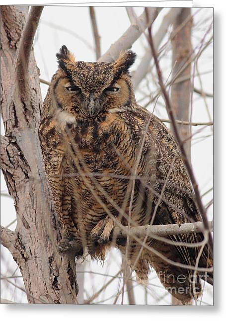 Great Horned Owl Perched Greeting Card by Wingsdomain Art and Photography