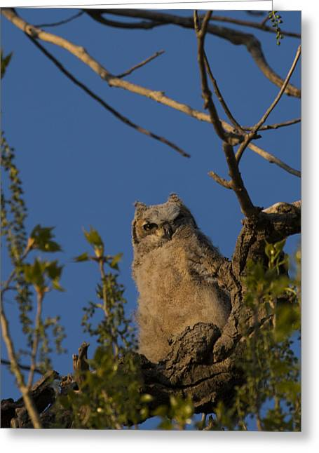 Owlets Greeting Cards - Great Horned Owlet Greeting Card by Noah Bryant