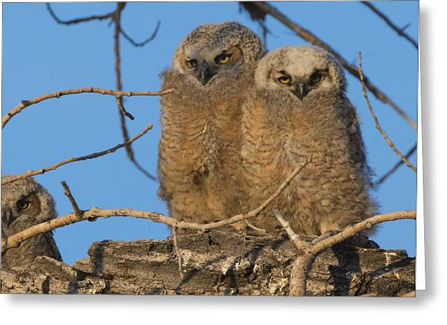 Owlets Greeting Cards - Great Horned Owlets Greeting Card by Noah Bryant