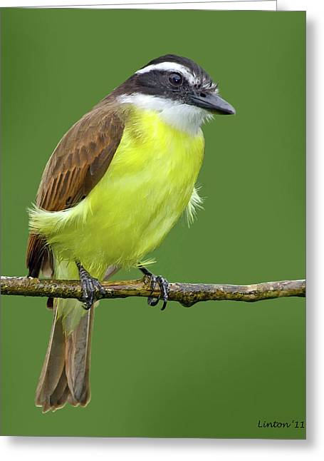 Great Birds Greeting Cards - Great Kiskadee Greeting Card by Larry Linton