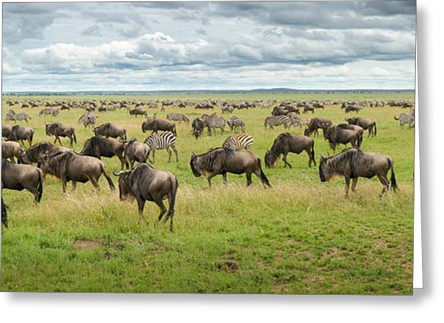 Great Migration In Serengeti Plains Greeting Card by Kirill Trubitsyn