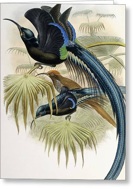 Great Sickle-billed Bird Of Paradise Greeting Card by John Gould