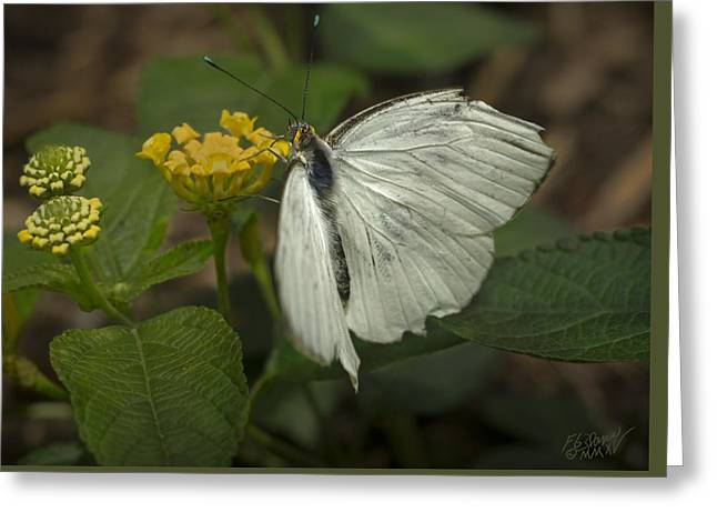 Flying Animal Greeting Cards - Great Southern White Butterfly Greeting Card by F Leblanc