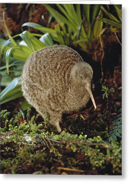 Three-quarter Length Greeting Cards - Great Spotted Kiwi Apteryx Haastii Male Greeting Card by Tui De Roy