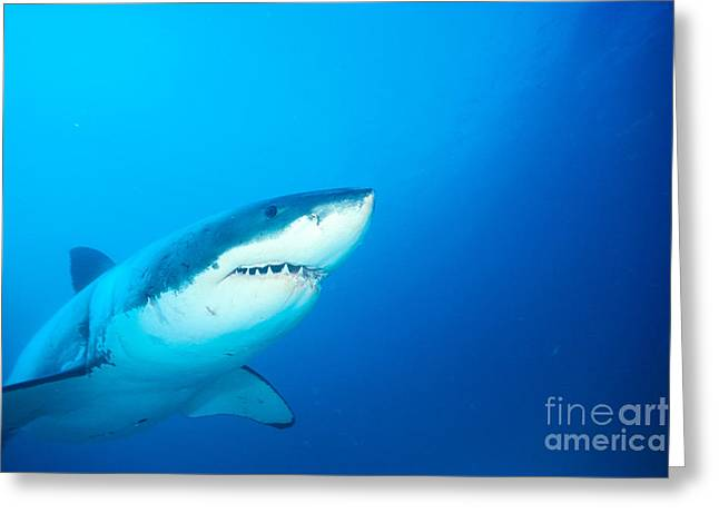 White Shark Greeting Cards - Great White Greeting Card by Dave Fleetham - Printscapes