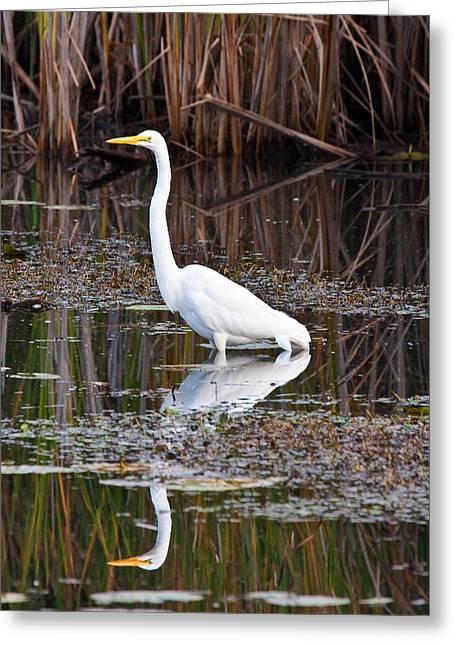 Metro Park Greeting Cards - Great White Egret Greeting Card by James Marvin Phelps