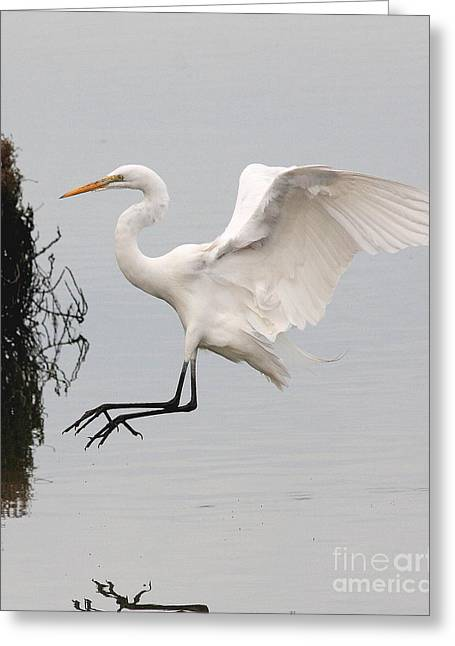 Great White Egret Landing On Water Greeting Card by Wingsdomain Art and Photography