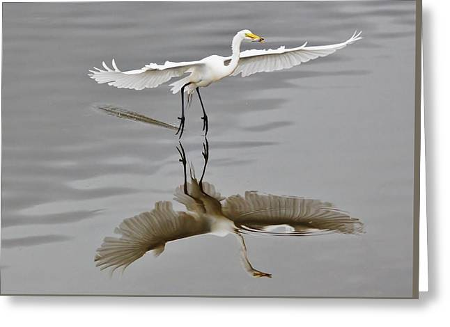 Paulette Thomas Photography Greeting Cards - Great White Egret with Fish Greeting Card by Paulette Thomas