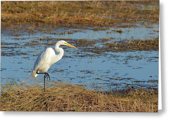 Great White Heron Greeting Card by Carla Parris