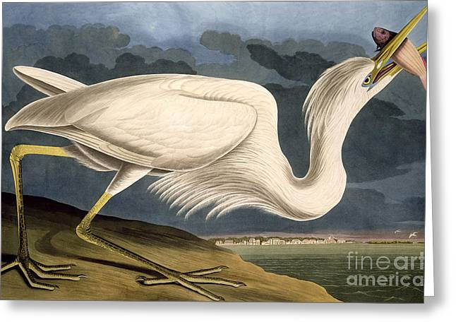 Heron.birds Greeting Cards - Great White Heron Greeting Card by John James Audubon