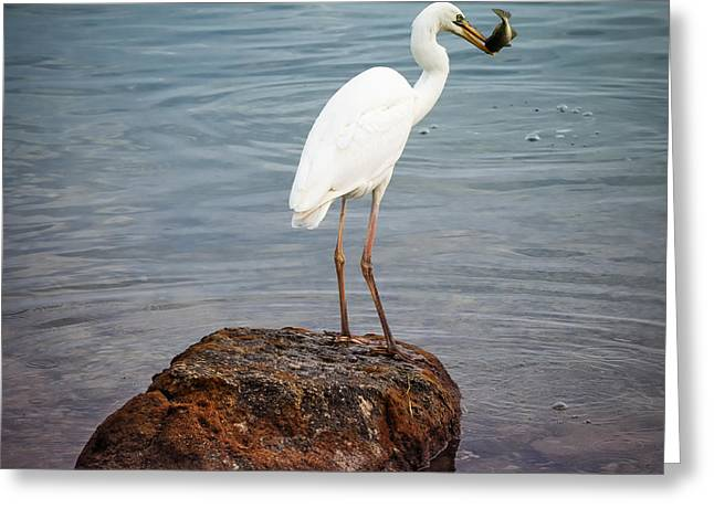 Great White Heron With Fish Greeting Card by Elena Elisseeva