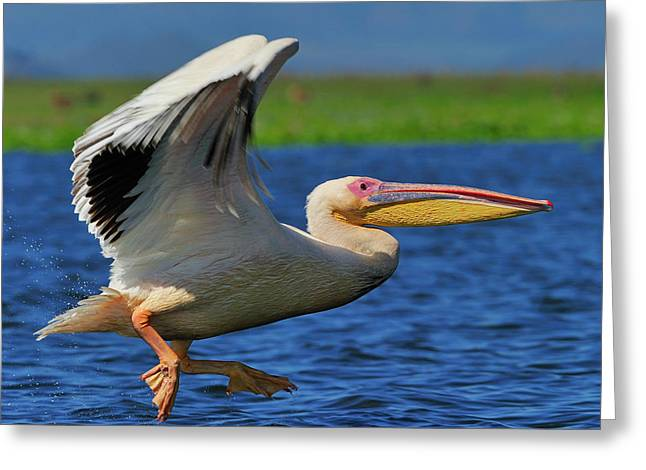 Flying White Pelicans Greeting Cards - Great White Pelican Greeting Card by Tony Beck