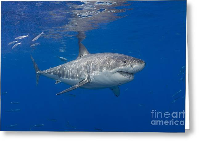 Guadalupe Island Greeting Cards - Great white shark Greeting Card by Dave Fleetham