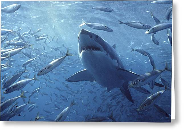 Groups Of Animals Greeting Cards - Great White Shark Carcharodon Greeting Card by Mike Parry