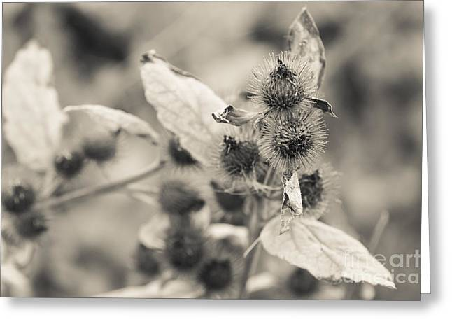 Greater Burdock Greeting Cards - Greater Burdock 2 Greeting Card by Marcin Rogozinski