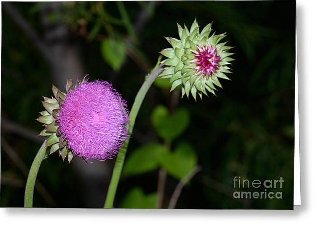 Greater Burdock Greeting Cards - Family of wild flowers Greeting Card by Igor Aleynikov