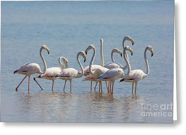 Greater Flamingos Greeting Cards - Greater Flamingos, India Greeting Card by B. G. Thomson