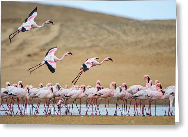 Greater Flamingo Greeting Cards - Greater Flamingos Phoenicopterus Greeting Card by Panoramic Images