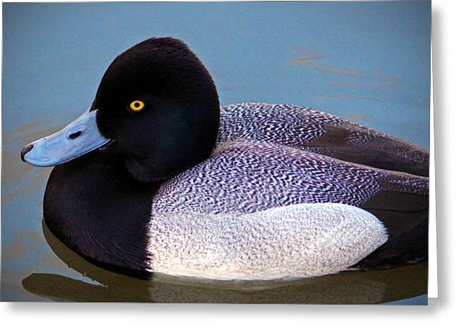 Beautiful Scenery Greeting Cards - Greater Scaup  Greeting Card by Cynthia Guinn