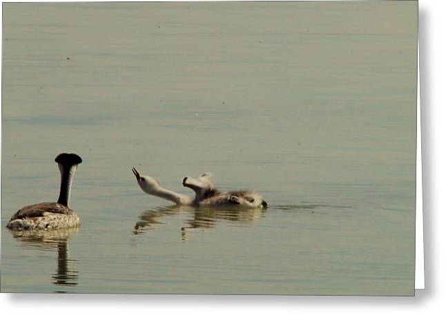 Baby Bird Greeting Cards - Grebe chick in all its grace Greeting Card by Jeff  Swan