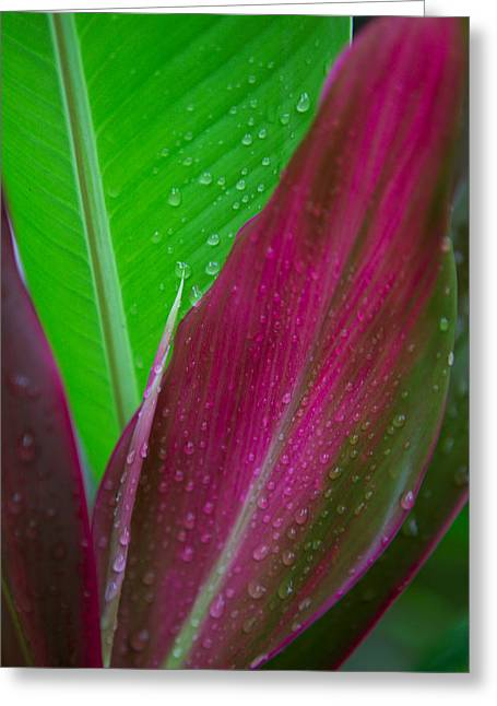 Dewdrops Greeting Cards - Green And Red Ti Plants Greeting Card by Dana Edmunds - Printscapes