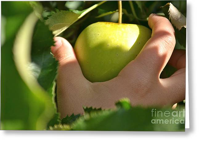 Fruit Tree Photographs Greeting Cards - Green Apple Picking Greeting Card by Jason Freedman