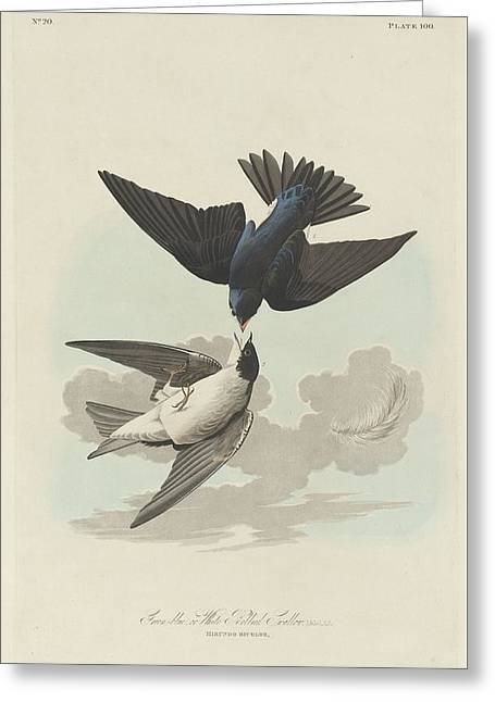 Green-blue Or White-bellied Swallow Greeting Card by John James Audubon