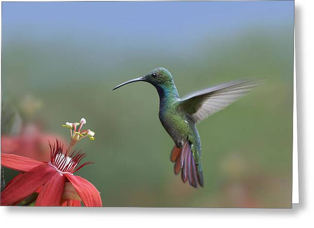 Hovering Greeting Cards - Green Breasted Mango Hummingbird Male Greeting Card by Tim Fitzharris