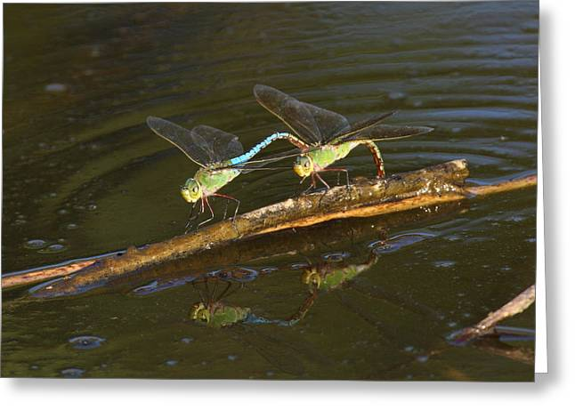 Pairs Greeting Cards - Green Darner Dragonflies on the water Greeting Card by Mark Wallner