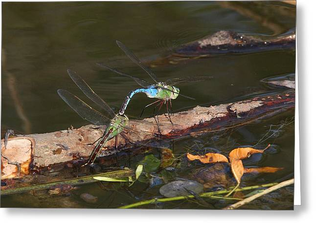 Pairs Greeting Cards - Green Darner Dragonflies on water Greeting Card by Mark Wallner