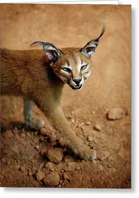 Bobcats Greeting Cards - Green Eyes Greeting Card by Marilyn Hunt