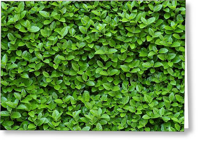 Green Hedge Greeting Card by Frank Tschakert