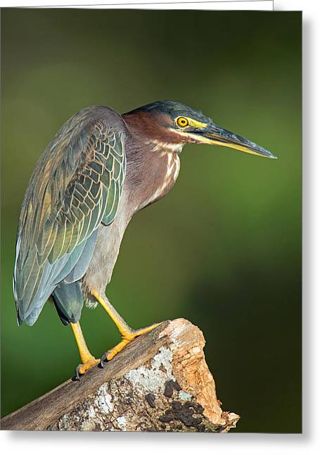 Green Heron Butorides Virescens Greeting Card by Panoramic Images