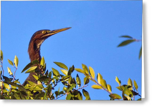 Flying Animal Greeting Cards - Green Heron Greeting Card by D S Images