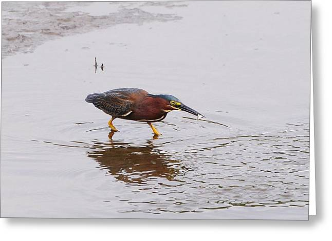 Al Powell Photography Usa Greeting Cards - Green Heron Fishing Greeting Card by Al Powell Photography USA