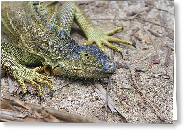 Green Iguana Greeting Card by Patricia Hofmeester